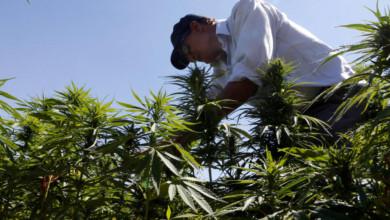 Cultivo de mariguana